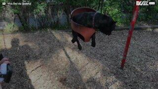 Denna bulldogg hatar att gunga