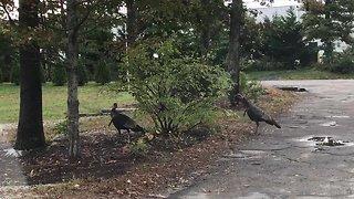 Playful turkeys chase each other around a bush