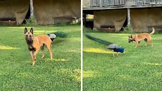 Dog and peacock besties play an epic game of tag
