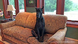 """Great Dane Loves To Sit """"Like the Peoples Do"""""""