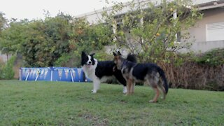 Beautiful dogs playing with each other