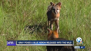 Foxes, heron released