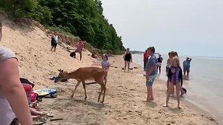 Deer encounter on Lake Michigan