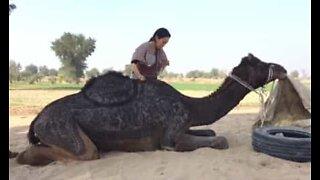 Turister skaper utrolig kunstverk på ryggen til en kamel