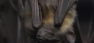 Researchers work to rehab image of bats during COVID-19 pandemic