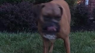 Boxer Simply Loves Playing With The Personal Water Fountain Toy