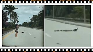 Family of Ducklings Stop Traffic on a Highway
