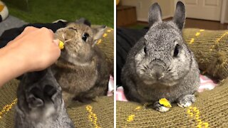 Bunny chomping on treat is an adorable ASMR moment