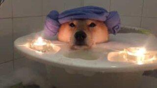 Cão tem direito a banho de espuma super relaxante