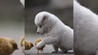 Little dog playing with Little Chiken 2021