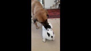 Happy doggy loves spending time with bunny best friend