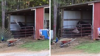 Horse has the best time playing around with favorite blanket
