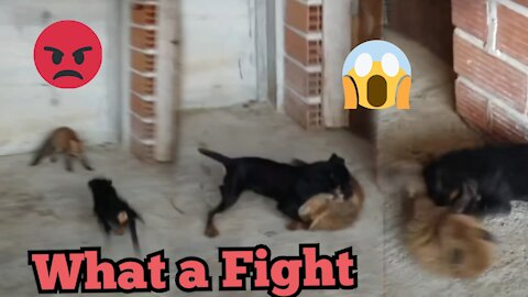 OMG , What a fight Dog vs Fox 😱😱😱 NEW 2021