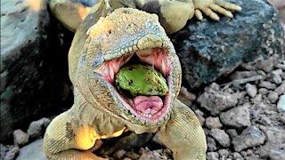Gigantic lizard devours fruit in the Galapagos Islands