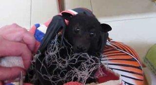 Flaggermus blir reddet etter å ha blitt fanget i et nett