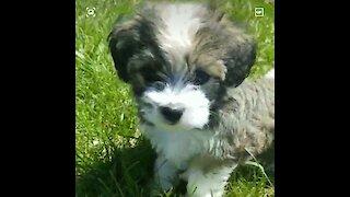 Cutest little puppy running through the grass