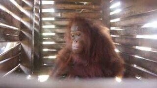 Orangutang reddet etter å ha bodd i en liten boks
