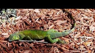 Cold-stunned iguanas expected to fall from Florida trees