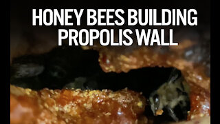 AMAZING FOOTAGE OF HONEYBEES BUILDING PROPOLIS WALL!!