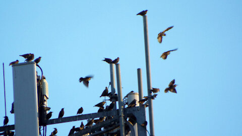 Starlings On The Cell Tower