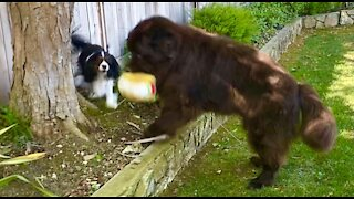 Newfie plays ever so gently with Cavalier brother