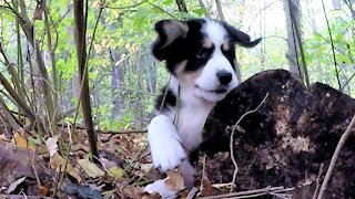 Puppies adorably struggle as they play on a log in the woods