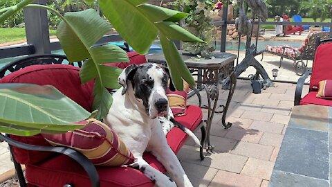 Laid back Great Dane loves that Florida pool life