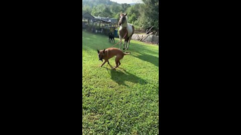 Pup enthusiastically leads horse by pulling on leash