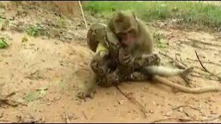 snake ATTACKING ANIMALS, anaconda attacking monkey