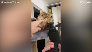Cat falls in love with massager