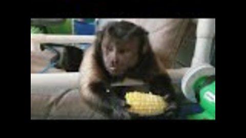 Capuchin monkey feasts on corn on the cob
