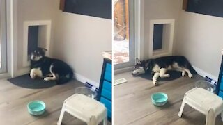 Husky uses doggy door for hilarious reasons