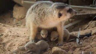 Já viu suricates recém-nascidos?