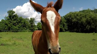 Adorable baby horse bounces and plays in his pasture