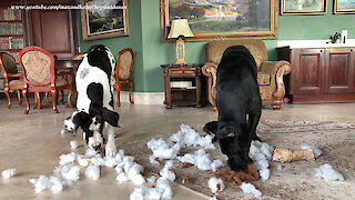 Great Danes Have Squeakectomy Fun In Toy Stuffing Snow
