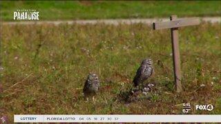 Nesting season for burrowing owls begins