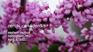 Eastern Redbud April 8, 2021