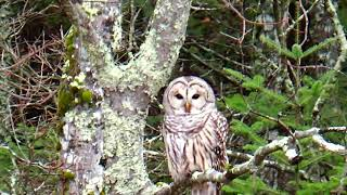 Barney the Barred Owl from Barnstead