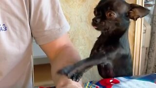 Adorable little doggy preciously begs for some scraps