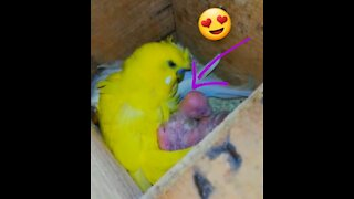 How does a female budgie feed her young
