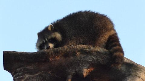 Raccoon loving height