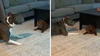 Shar Pei puppy's first playdate will brighten your day