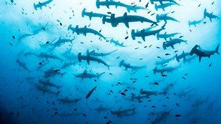 Marine biologist captures incredibly rare footage of hundreds of hammerhead sharks