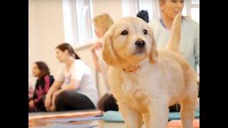 PUPPY YOGA CLASS by Pets Yoga - London - Labrador Retrievers!!!