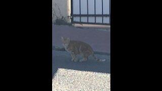 Wild cat walking in my street unbelievable