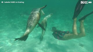 Sea lions play happily with scuba diver