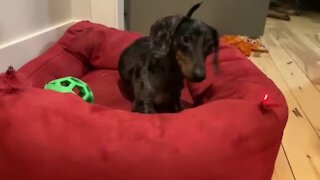 Dachshund puppy obsessed with chasing laser pointer dot