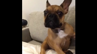 Frenchie Puppy Is Completely Confused By Its Owner's Howling