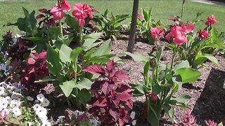 Melindas Garden Moment Planting Canas