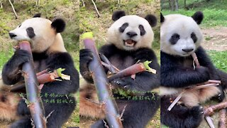 Adorable Giant Panda Eating Bamboo (New Video)